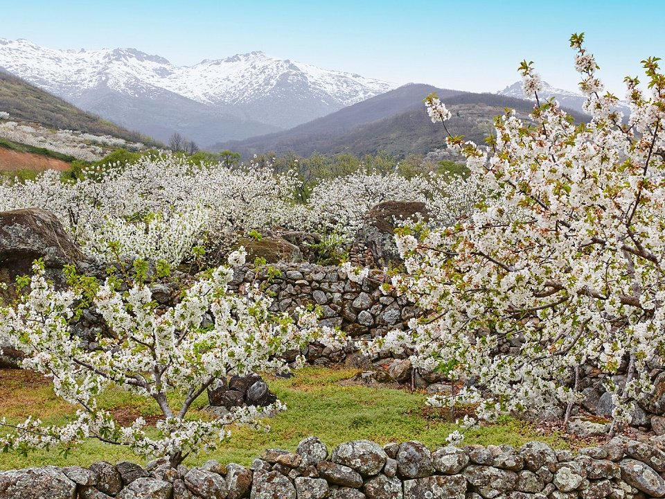 Blooming cherry blossoms in the Jerta valley