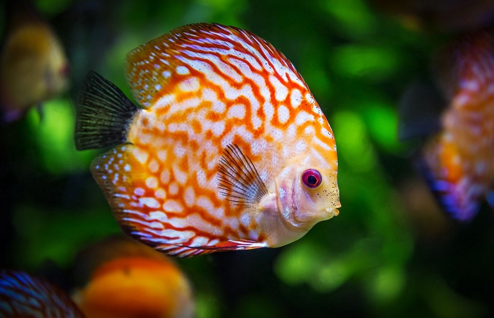 Fish with a white and orange pattern