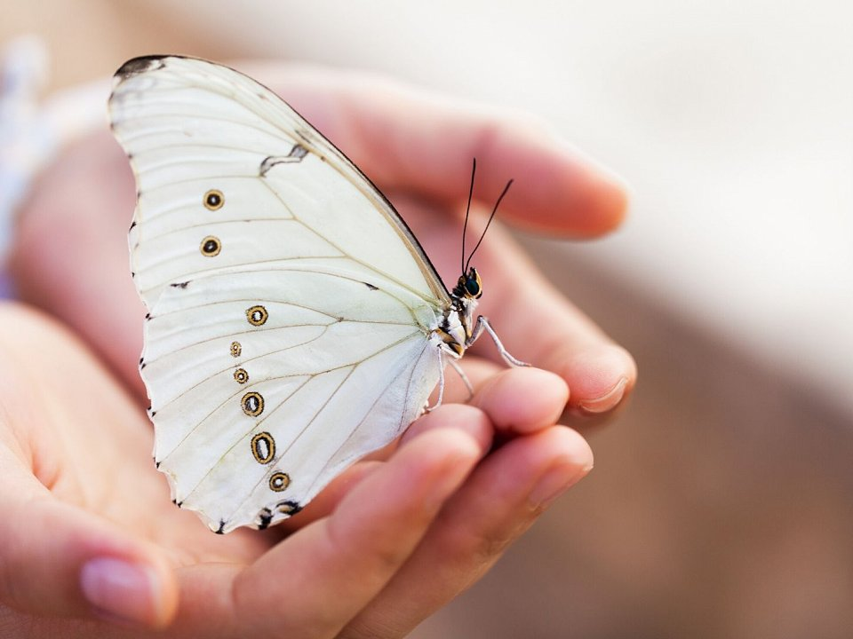 Open hands holding a white butterfly.