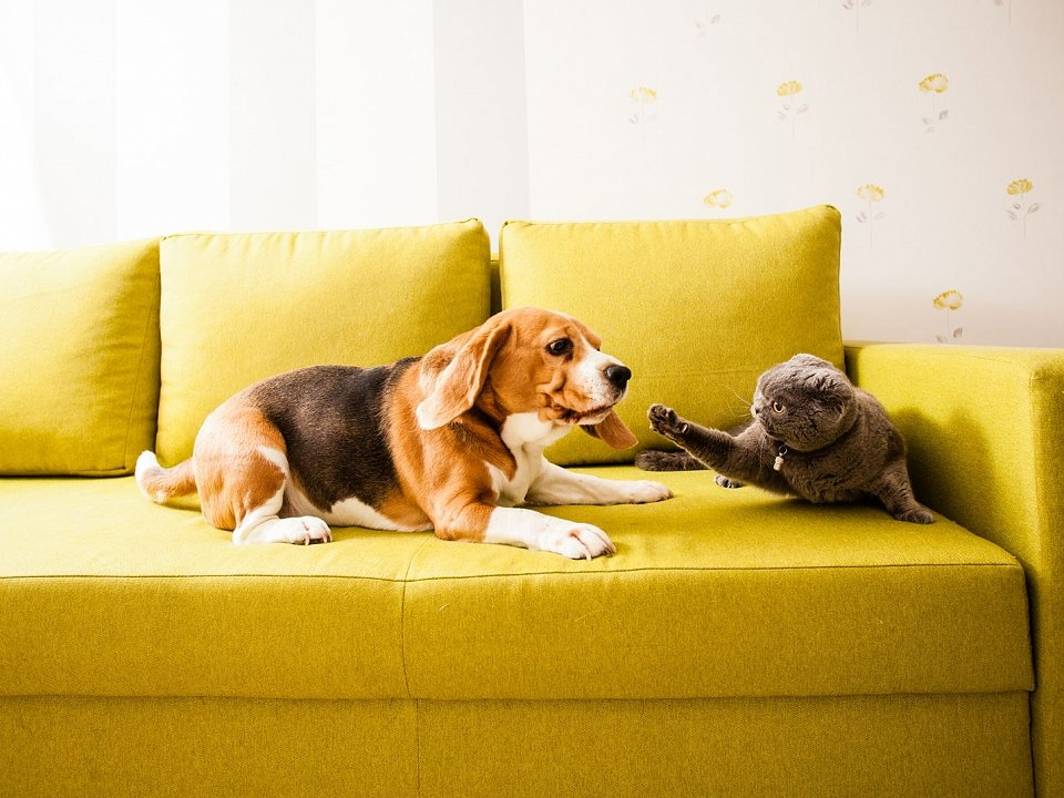A dog and a cat on a yellow couch looking like they will fight.