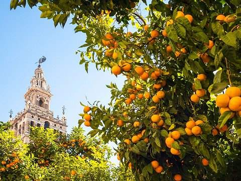 Orange tree Sevilla